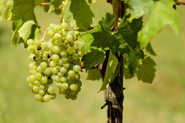 Grapes the superfoods for aged people